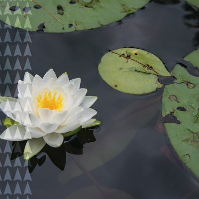 Northland College Water Lily