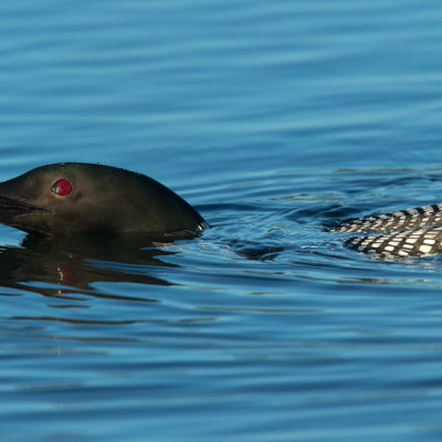 Loon Swimming