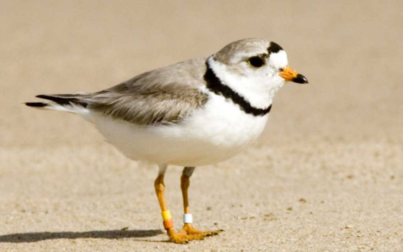 Piping Plover at the beach