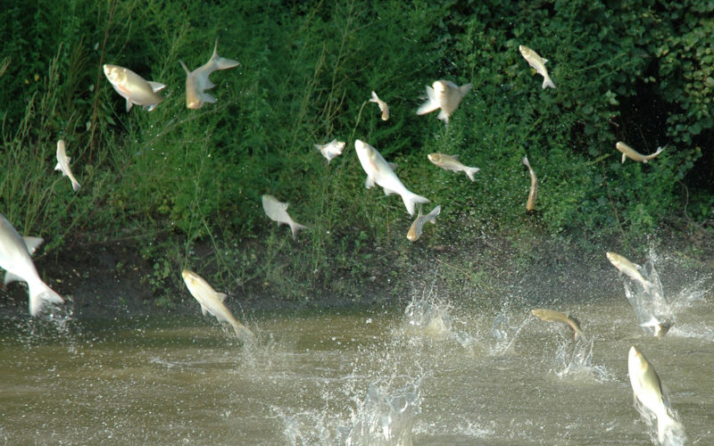 carp jumping out of a lake