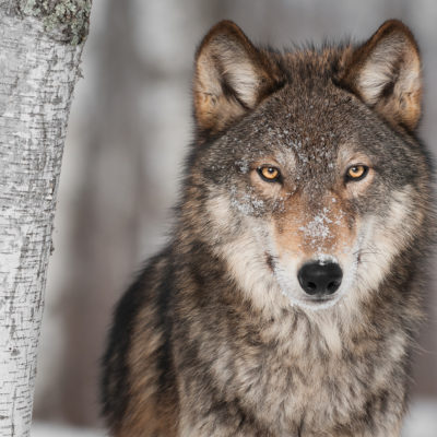 Timber Wolf Alliance wolf